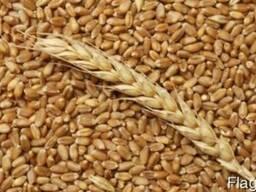 Куплю сою кукурузу подсолнечник рапс зерновые пшеницу