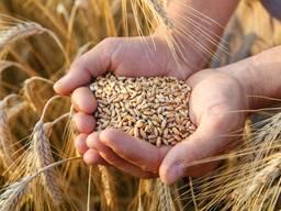 Купуємо оптом пшеницю, сою та кукурудзу