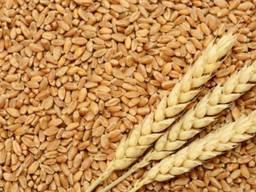 Продам пшеницю, 3 клас, 10-15 тонн, Волинська область, Локачинський р-н