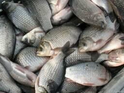 Продам речную и озерную рыбы оптом