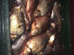 Продам рыбу свежую, свежемороженую. Карась