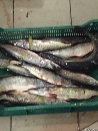 Продам рыбу свежую, свежемороженую щука