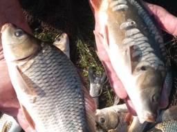 Продам рыбу живую малёк и продовольственная
