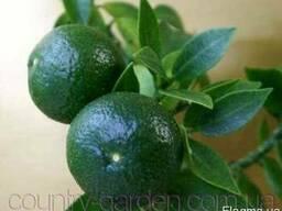 Продам саженцы Апельсина с плодами (комнатное растение)