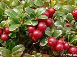Продам саженцы Брусники и много других растений