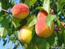Продам саженцы Персика и много других растений