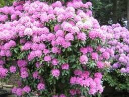 Продам саженцы Рододендронов и много других растений