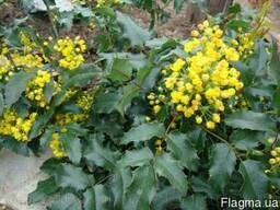 Продам саженцы вечнозеленого растения Магонии Падуболистной