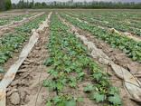 Продам семена гибрида кабачка Лавина - фото 3