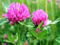 Продам семена клевера (конюшини) розового