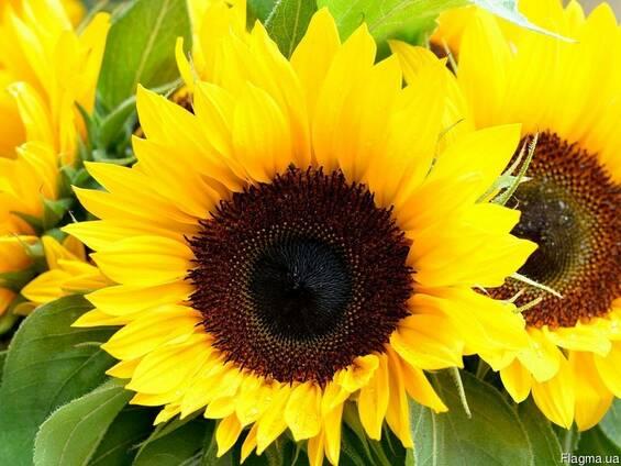 Продам семена подсолнечника,Украинский f 1, Атилла,