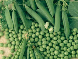 Продам семена сахарного горох Альфа оптом от производителя в