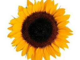 Продам семена соняшника Нові Сад (Сербія)