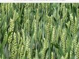 Продам Шпаловка (пшеница) - photo 1