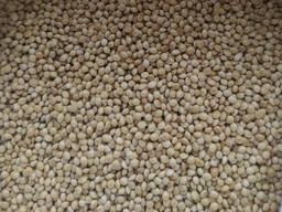 Продам насіння проса сорт Омріяне - супереліта