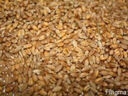 """Продам сорт """"Зимоярка"""" м'яка пшениця (двуручка)"""