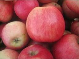 Продам сортовое яблоко с сада.