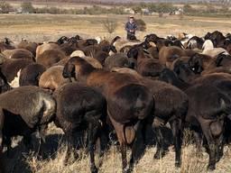 Продам стадо овец гисарской породы бараны, ярки матки и тд