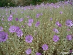 Продам Сухоцвет однолетний траву