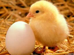 Продам суточных и подрощенных цыплят