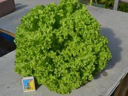 Продам свежий салат оптом.
