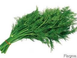Продам свежую зелень от 100 - 5000 кг по оптовым ценам