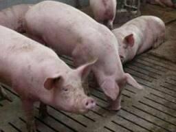 Продам свиней живым весом (оптом и в розницу)