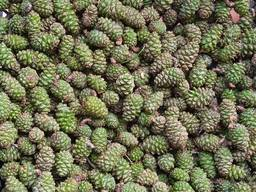 Продам свіжі зелені соснові шишки
