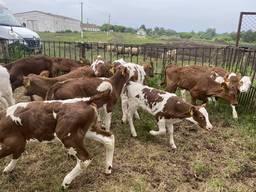 Продам телят мясных пород