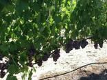 Продам виноград - фото 3