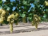Продам виноград - фото 4