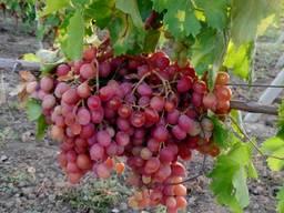 Продам виноград столовых сортов