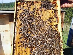 Продам високопродуктивні плідні матки /бджоломатки Карпатка