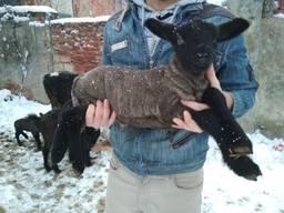 Продам вівці, барани, ягнята породи Суффолк