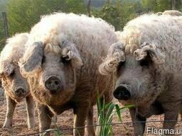 Продам взрослых свиней породы Венгерская пуховая мангалица!