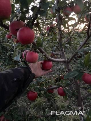 Продам яблоки Гала
