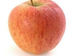 Продам яблоки сорта Чемпион