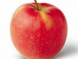 Продам яблоки сорта Джонаголд