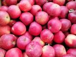 Продам яблука зимових сортів - фото 1