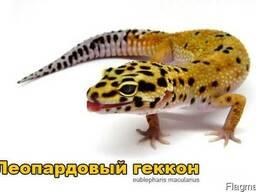 Продам ящерицы Леопардовый геккон ( эублефар )