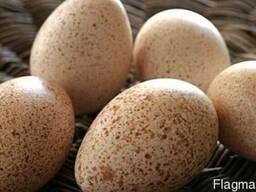 Продам яйцо индюшиное инкубационное