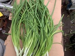 Продам зелёный лук перо в Запорожье 80 тонн. Фасован.