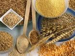 Продам зерно на экспорт - фото 1