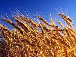 Продам Пшеницю сорт Краєвид супер еліта