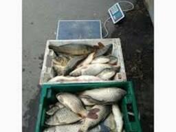 Продам живую рыбу: карп, амур, карась, щука. .