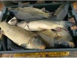 Продам живую рыбу малька:белый амур, толсто лоб, карп. ..