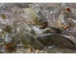 Продам живую рыбу малька: Щука, карп, толстолоб, сом, амур.