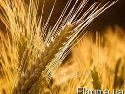 Продамо жито на експорт