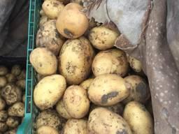 """Продаём молодой картофель . Сорта """"Лаперла"""" , """"Миранда"""