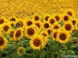Семена подсолнечника Лимит, Аракар, устойчевые к Евро-Лайтингу - фото 1